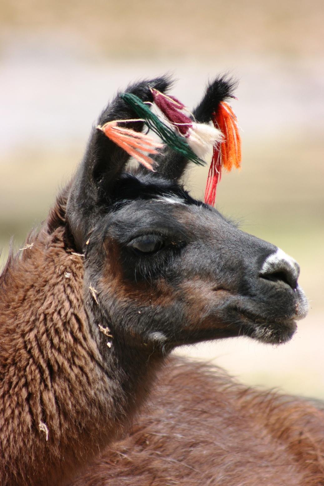 Sconzani I Love Llamas