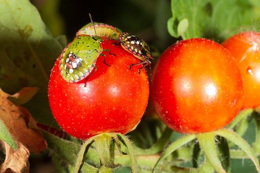 Fruit Bug