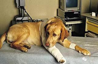 cães com fraturas