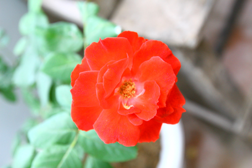 Hoa hồng đỏ Đức