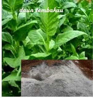 Pestisida Alami Dari Bahan Sederhana tembakau