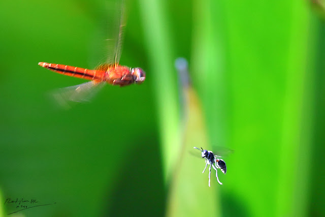 Red Dragonfly attacking flying insect