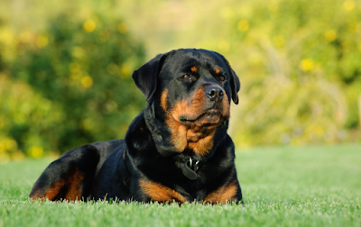 rottweiler dog, rottweiler puppies, rottweiler price, rottweiler puppy price, dog breeds