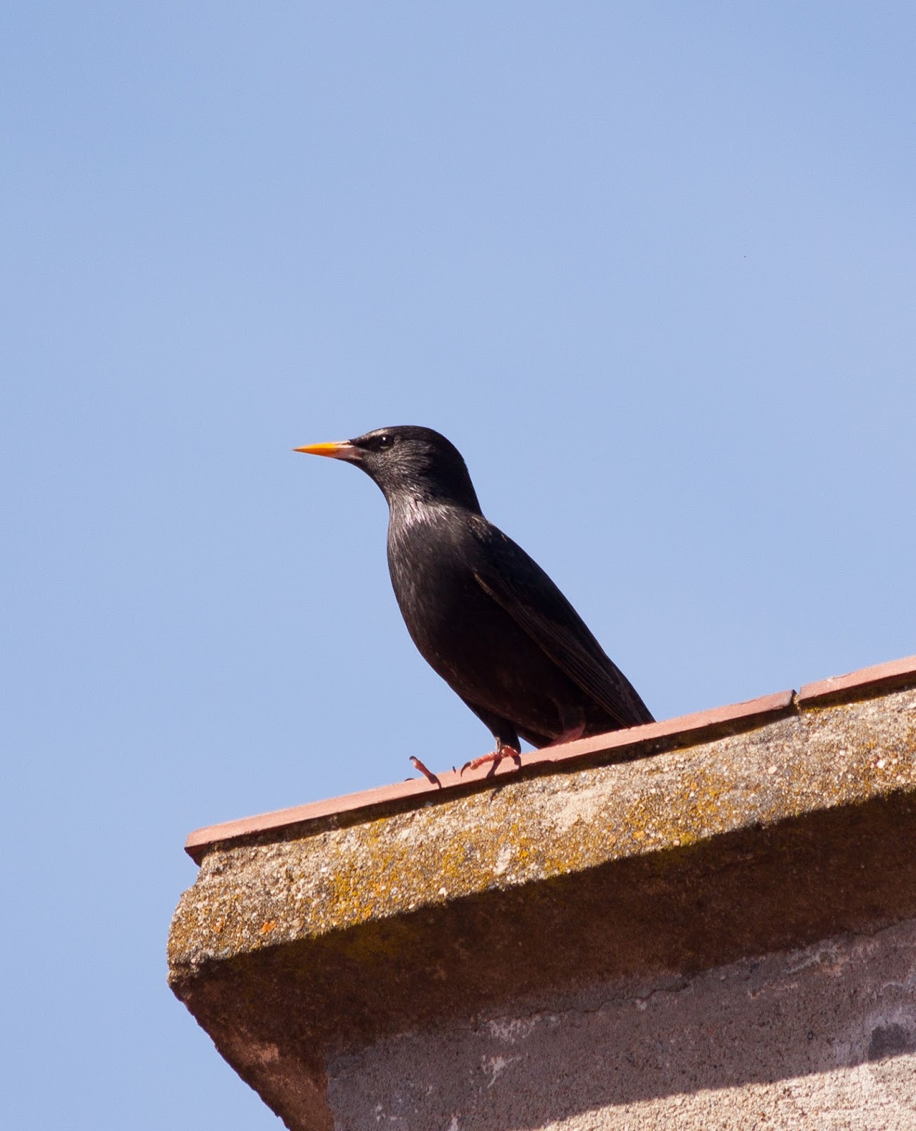 Spotless Starling - Spain