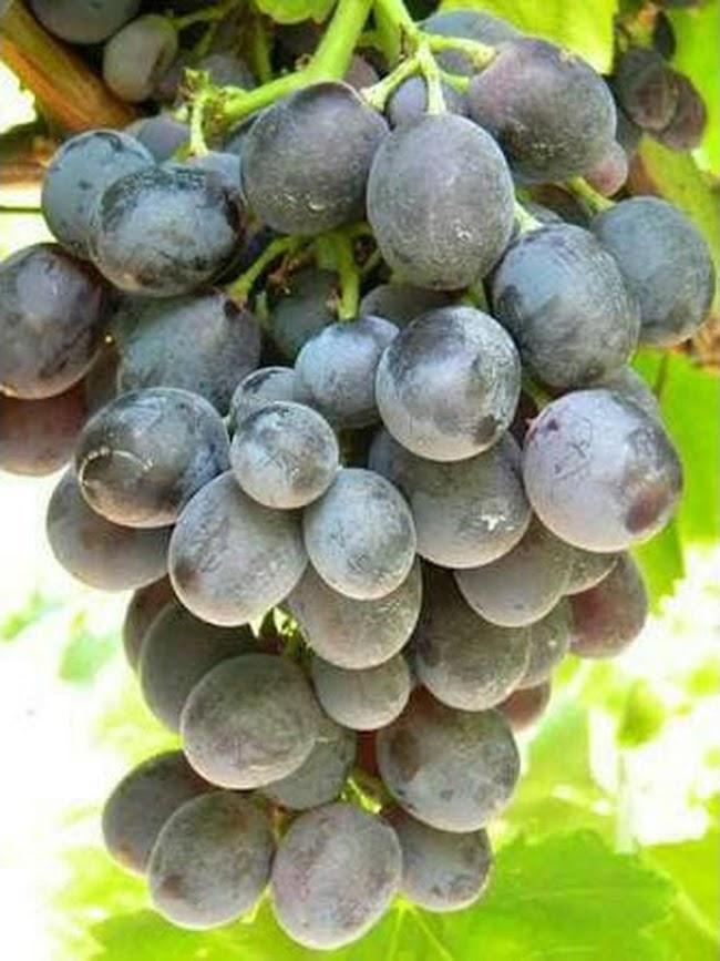 Bibit anggur Maroo Sedless Tanpa Biji Original Sulawesi Tenggara