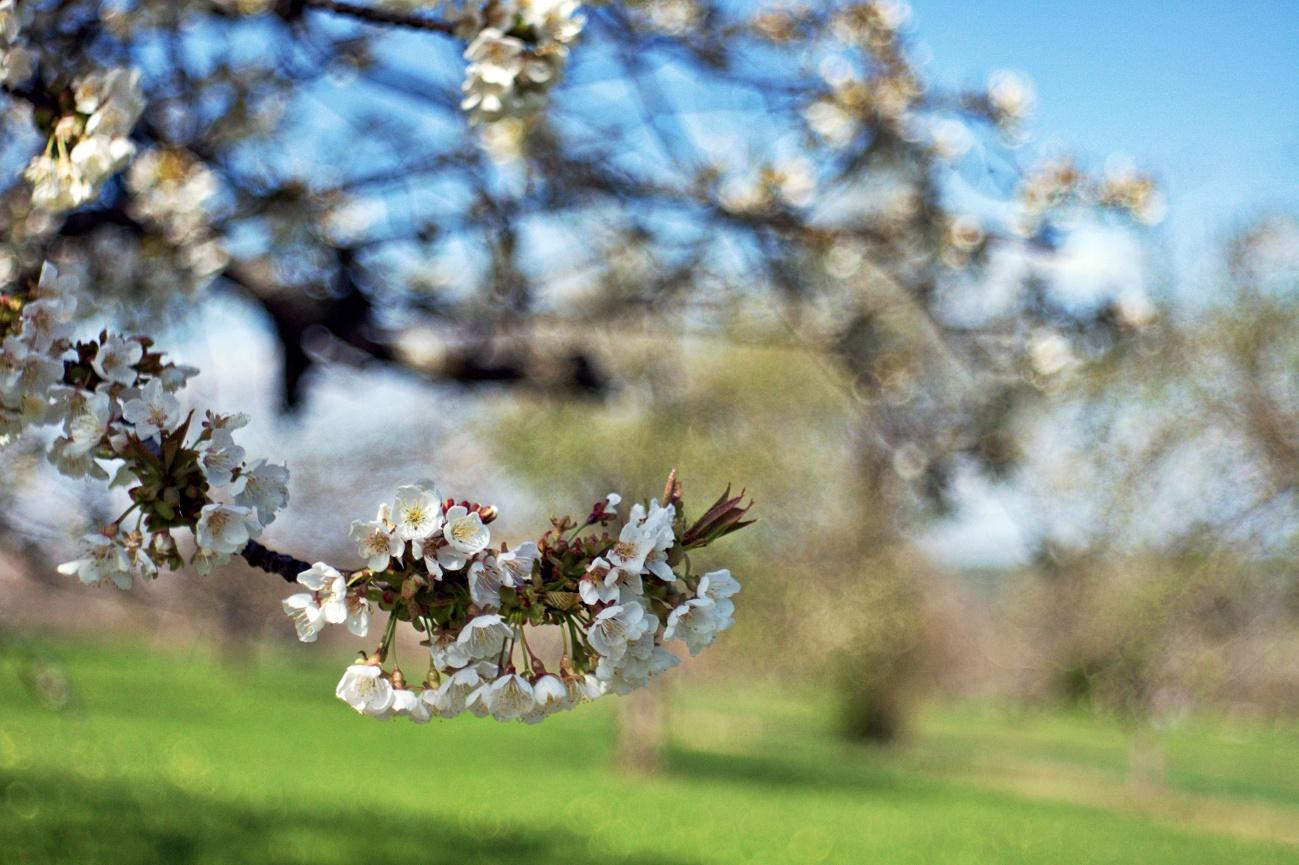 48€ Kombo — Kirschblüte im Glemstal #1