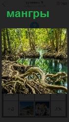 на берегу водоема растут большие мангры