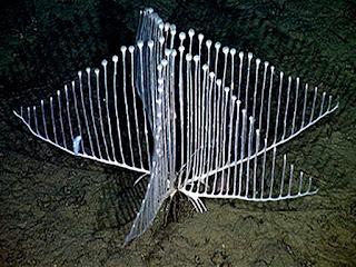 http://www.allfiveoceans.com/2017/01/the-harp-or-lyre-sponge.html
