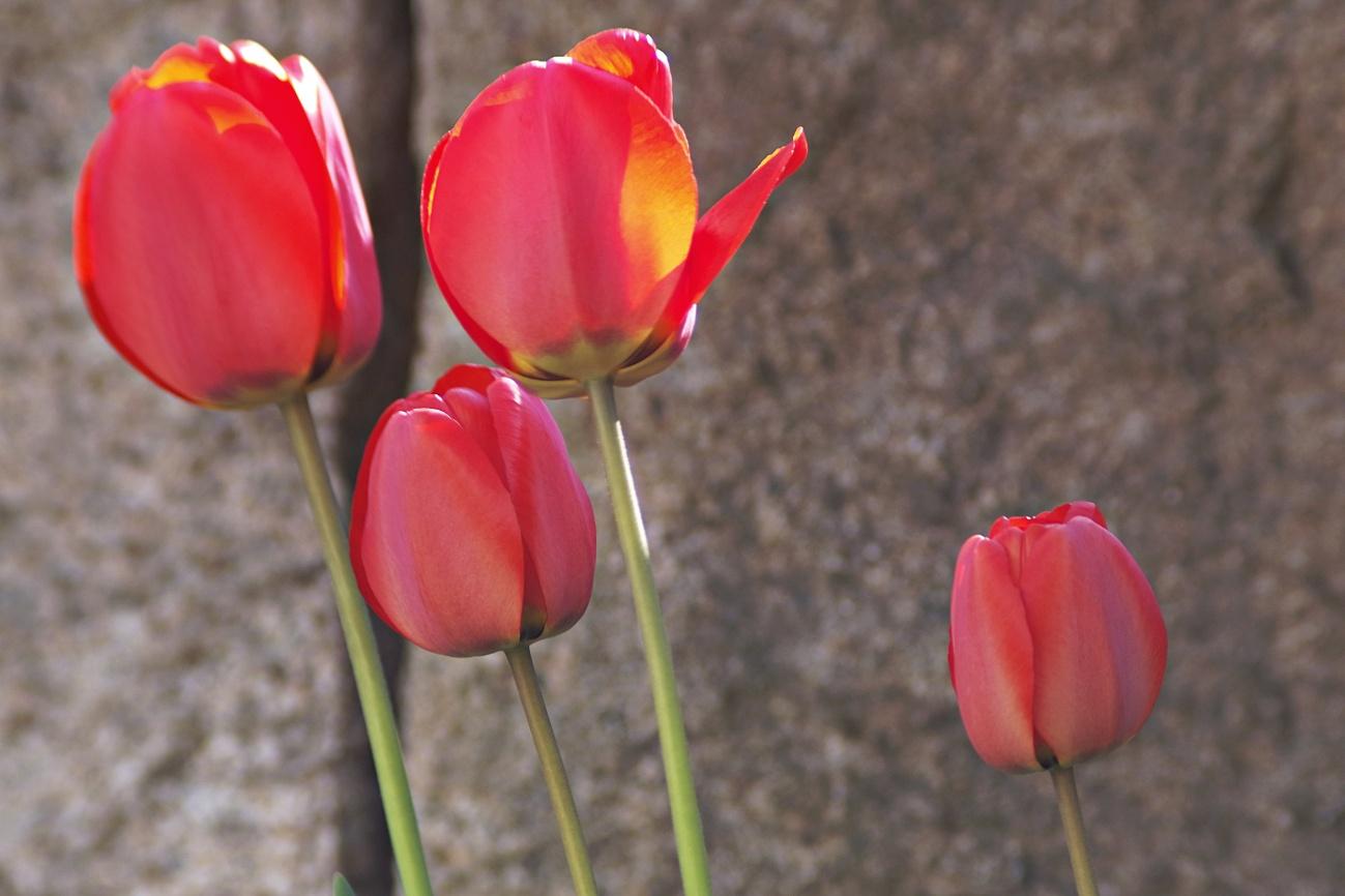 Tulpenviererbande in bester Blüte
