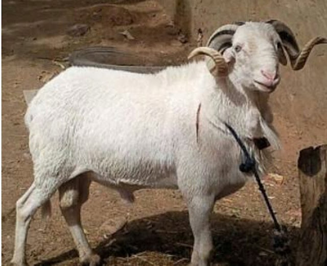 "Alt: = ""photo showing ram of Yankasa sheep breed"""