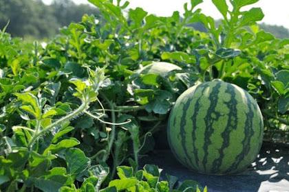 cara menanam buah semangka