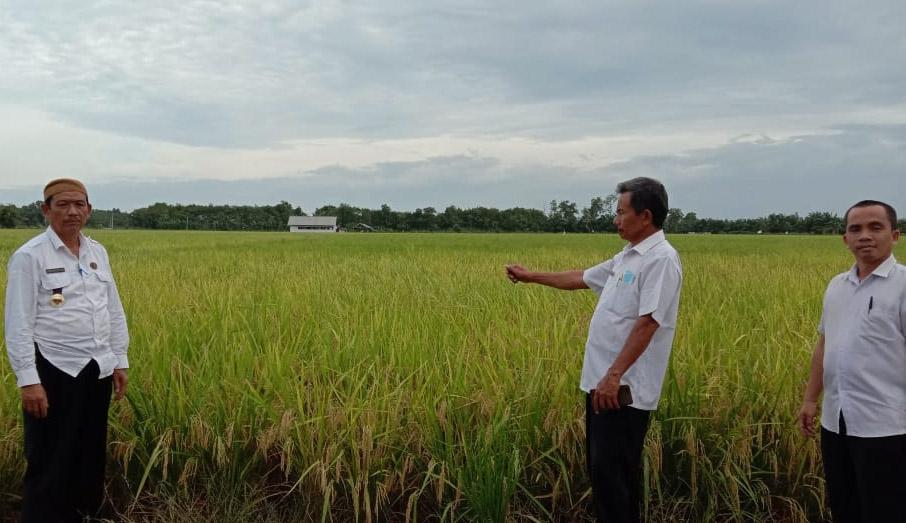 Hasilkan 145 Ribu Ton GKP/Tahun, Mesuji Jadi Salah Satu Penyangga Stok Pangan di Lampung