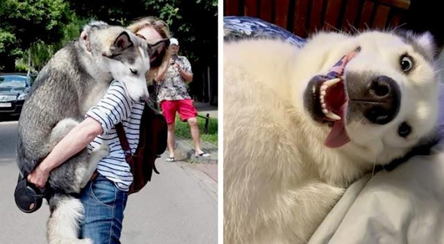 15 доказательств, что хаски — самые непредсказуемые собаки в мире!