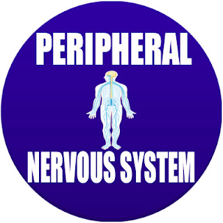 Peripheral Nervous System in Spanish