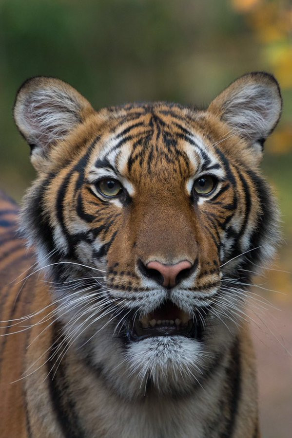 covid-19-tiger-at-a-new-york-city-zoo-tests-positiv-for-coronavirus