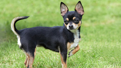 Chihuahuas are perfect for small homes