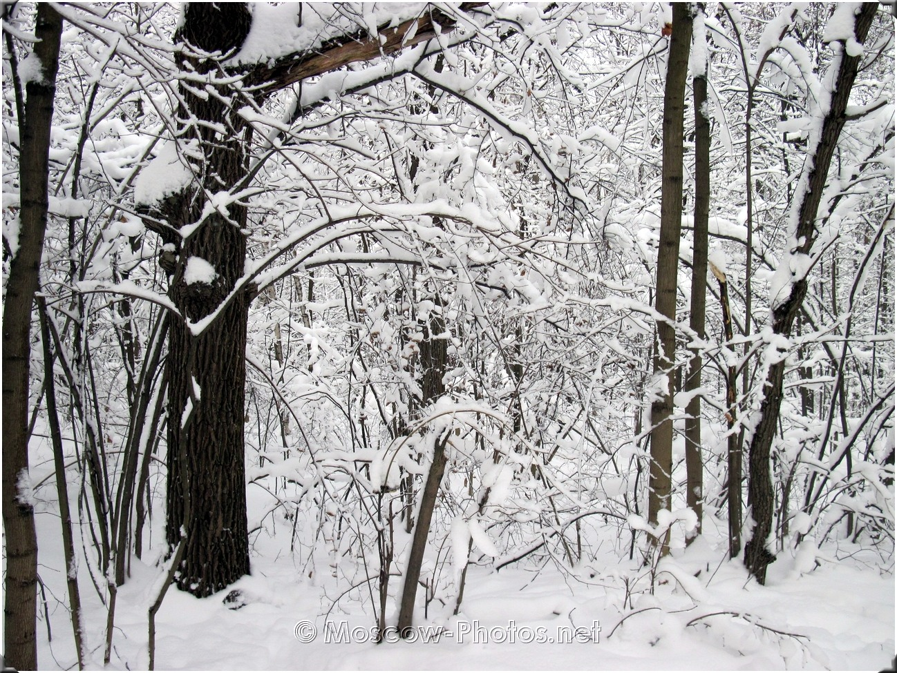 Cold Moscow Wood