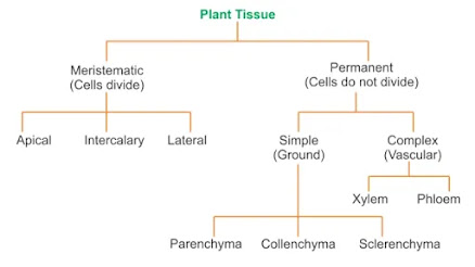 9th Class Science Notes in English chapter 6 Tissue