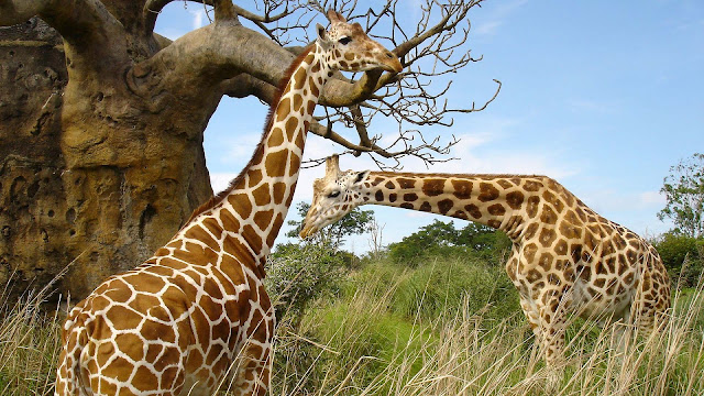 Foto van twee giraffes in het veld