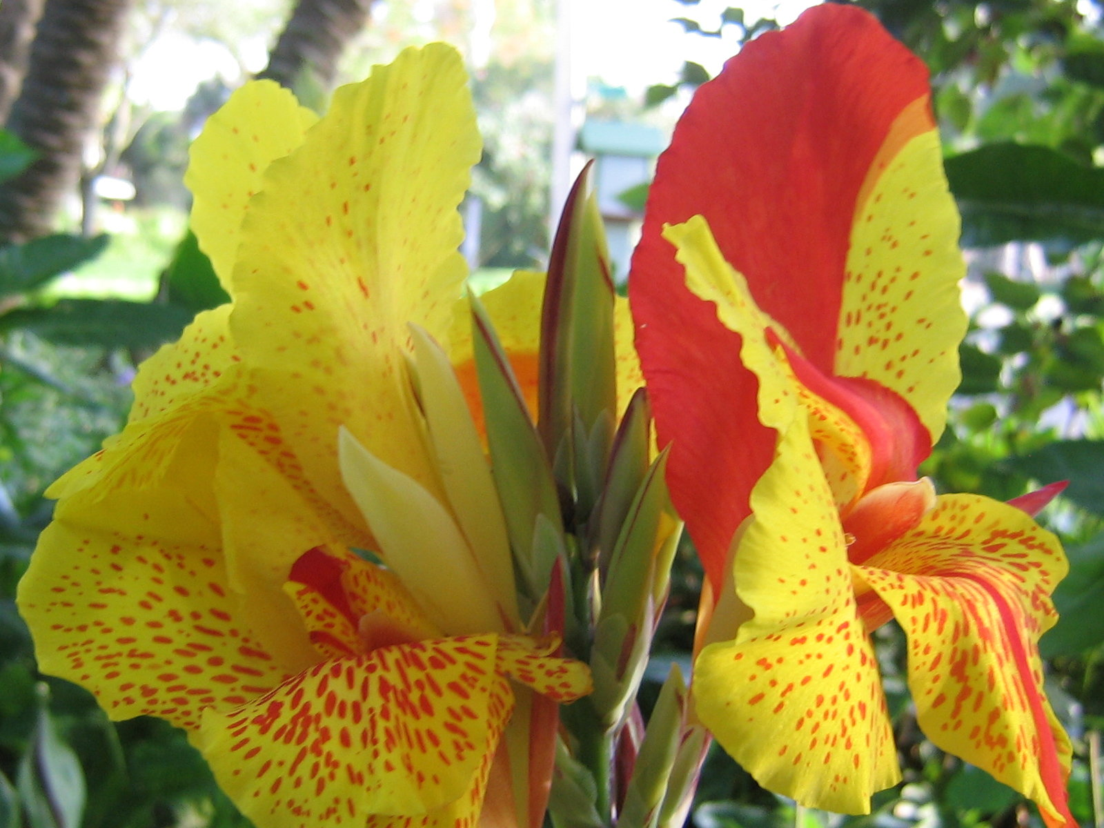 The History Of The Canna Lily The Garden Of Eaden