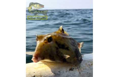 سمك البحر الأحمر _ سمك الصندوق