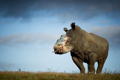 rinoceronte-con-corno-amputato