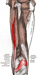 Anatomi M.Semimembranosus