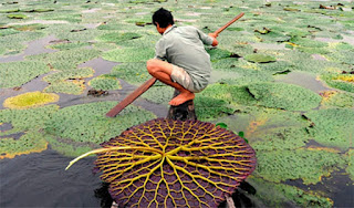 makhana-farming