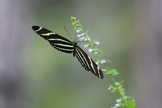 Zebra Longwing. Mariposa insignia del estado de la Florida