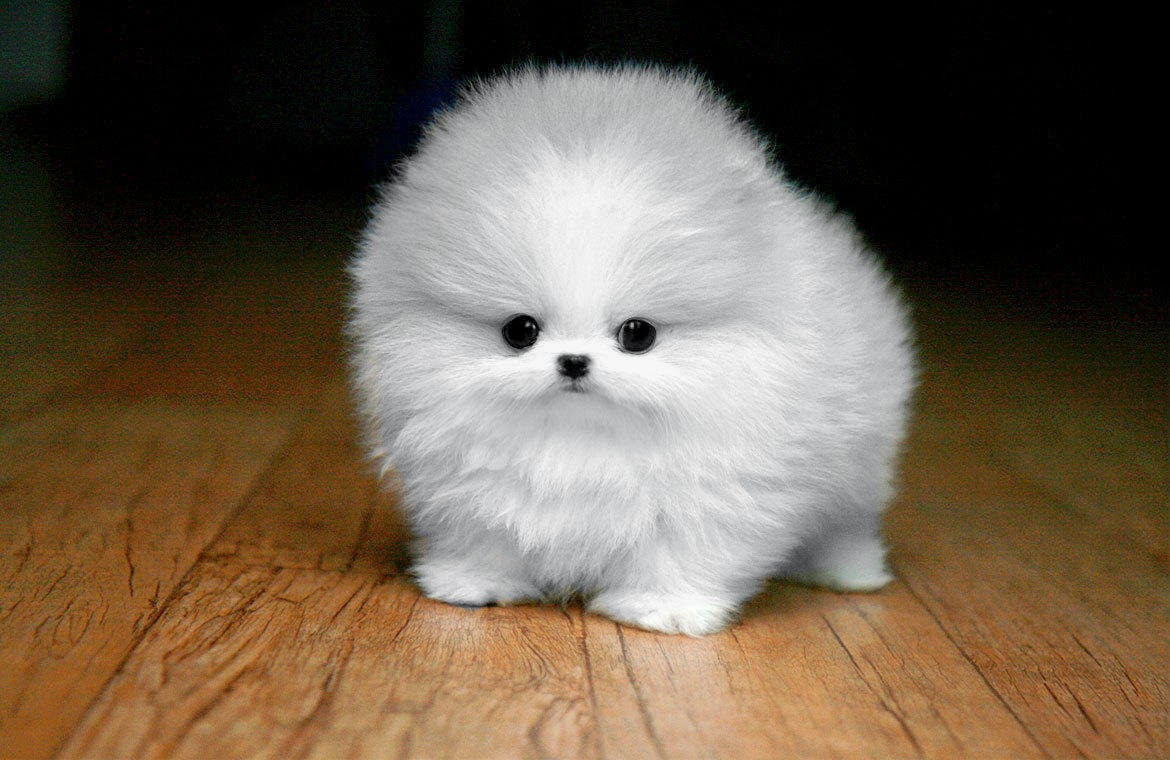 Bring on the Cute: Fluffy White Maltese Puppy