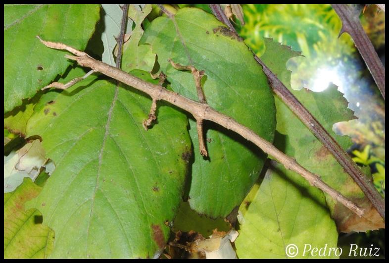 Ninfa hembra L5 de Achrioptera manga, 8 cm de longitud