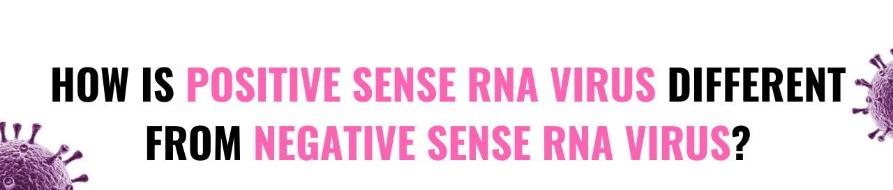 Differences between Positive sense RNA Viruses and Negative sense ss RNA Viruses