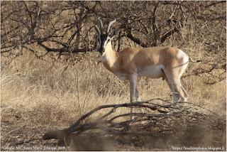 https://bioclicetphotos.blogspot.com/search/label/Gazelle%20de%20S%C3%B6mmering