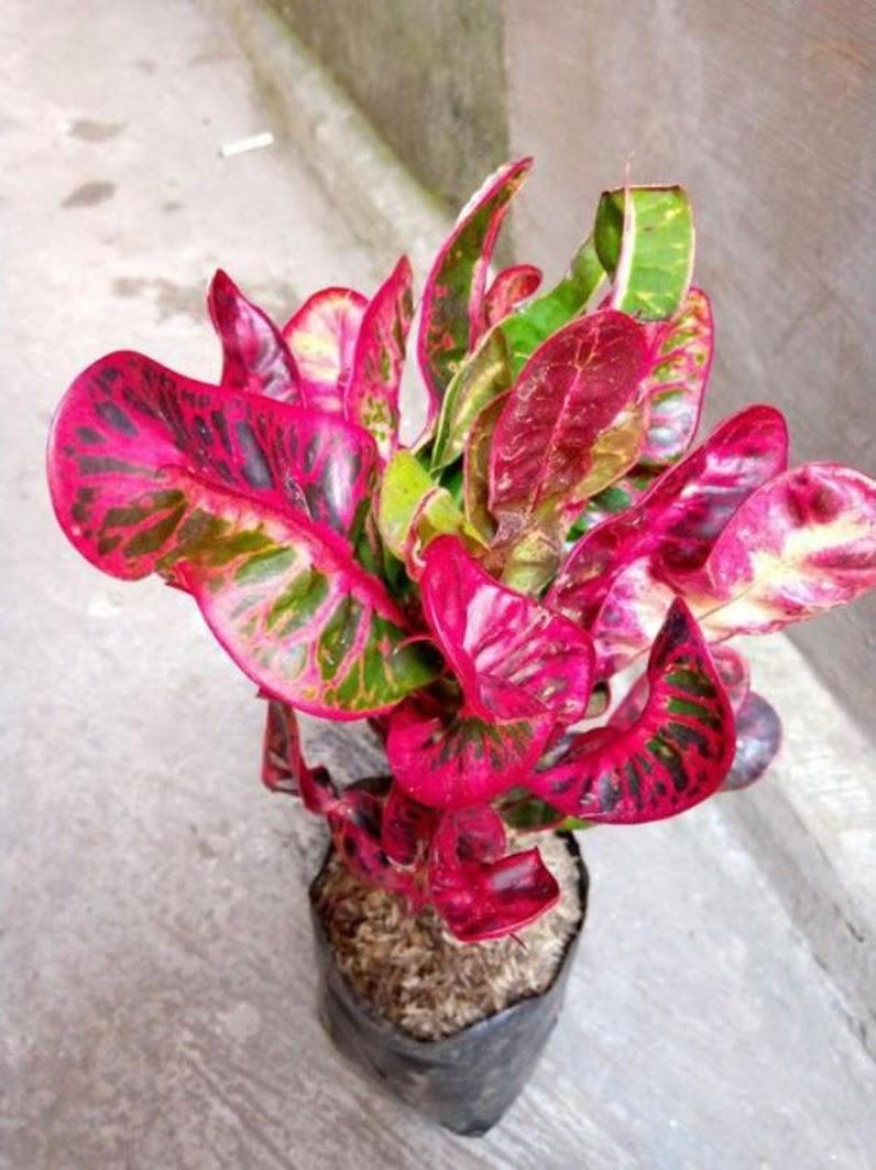 tanaman bibit bunga hias pureng kirana puring kirana Jawa Timur