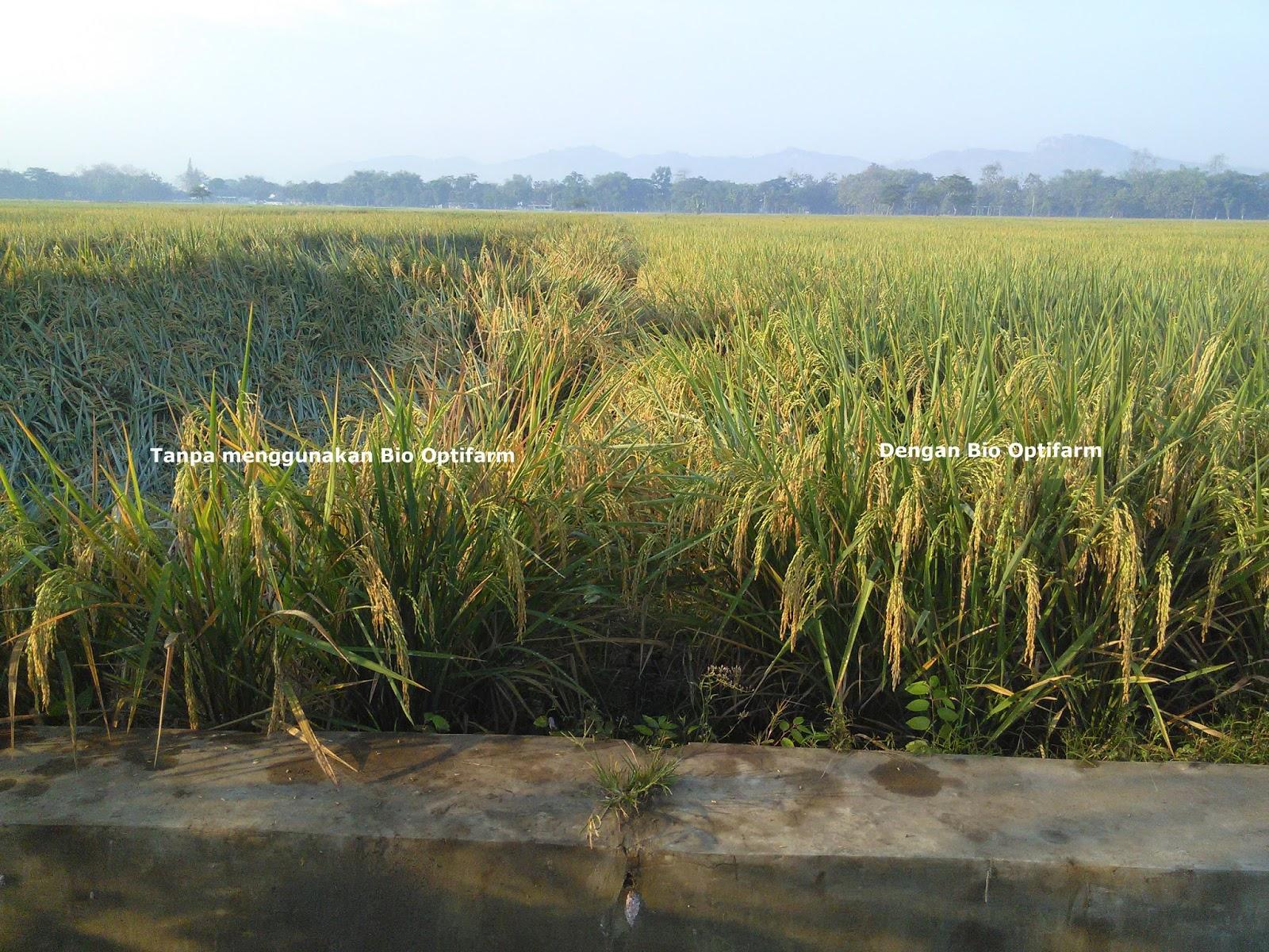 Tanaman padi lebih kokoh meskipun ditengah musim penghujan