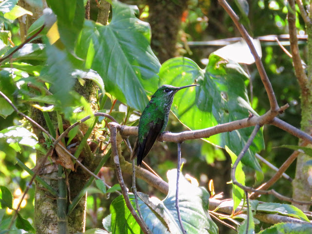 Costa Rica Birds: Green-crowned brilliant