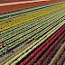 Uma explosão de cores nos campos cobertos de tulipas