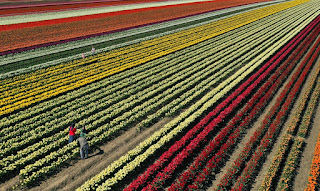 Fileiras coloridas de tulipas perto de Grevenbroich, na Alemanha, com a chegada da primavera na Europa