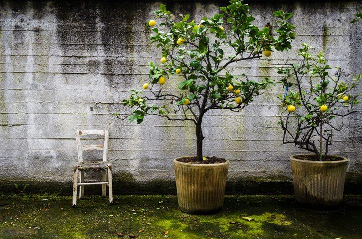 5 árboles frutales para plantar en macetas   amigos de la jardinería