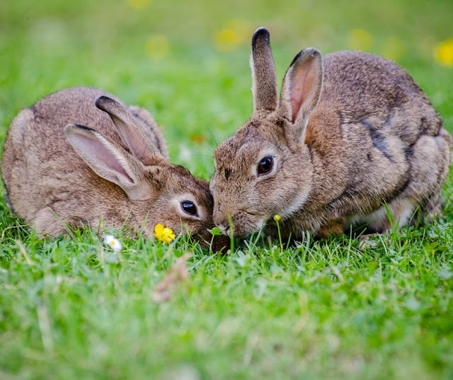 Rabbit repellent - how to get rid or keep rabbits out of garden