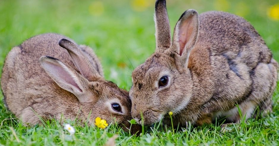 Rabbit repellent - how to get rid or keep rabbits out of ...