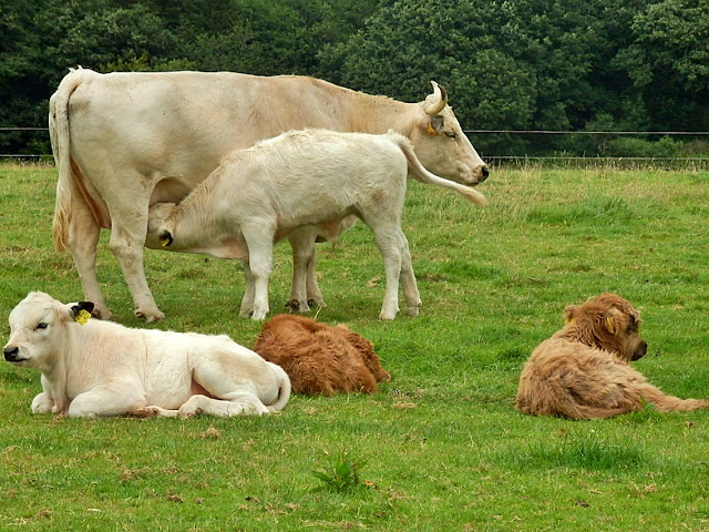 Cows and cattle in Cornwall