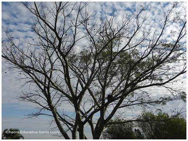 Arbol sin hojas,  fotoperíodo modificación del follaje- Chacra Educativa Santa Lucía