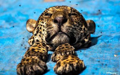 Onça, Carajás, Curionópolis, caça de onça em curionópolis, onça-pintada, onça-preta, jaguatirica, onça-parda, onças mortas em Carajás, caça ilegal de animais, onça em extinção, onças são abatidas no Pará, tráfico de animais, floresta nacional de Carajás, ICMBIO, Pará