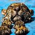 No Pará onças são vítimas de caça predatória