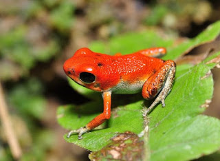 Strawberry poison dart frogs have a poison to protect them from predators. It is in their skin. They have surprising parenting skills.