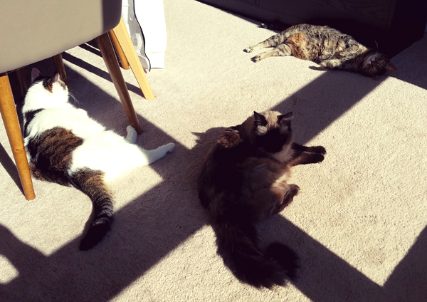image of Olivia the White Farm Cat, Matilda the Fuzzy Sealpoint Cat, and Sophie the Torbie Cat lying in the sunshine on the dining room floor