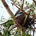 Nidificação do gavião-tesoura em área urbana de Palmas-Tocantins