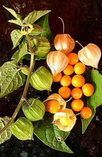 Buah Pultak-Pultak atau Ceplukan (Physalis angulata)