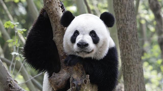 MUNDO: Canadá regresa a China a dos pandas por falta de bambú.